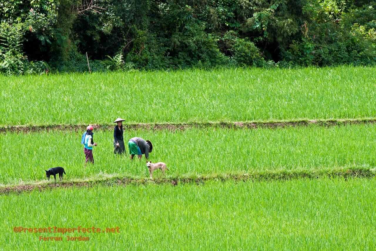 Camps d'arròs