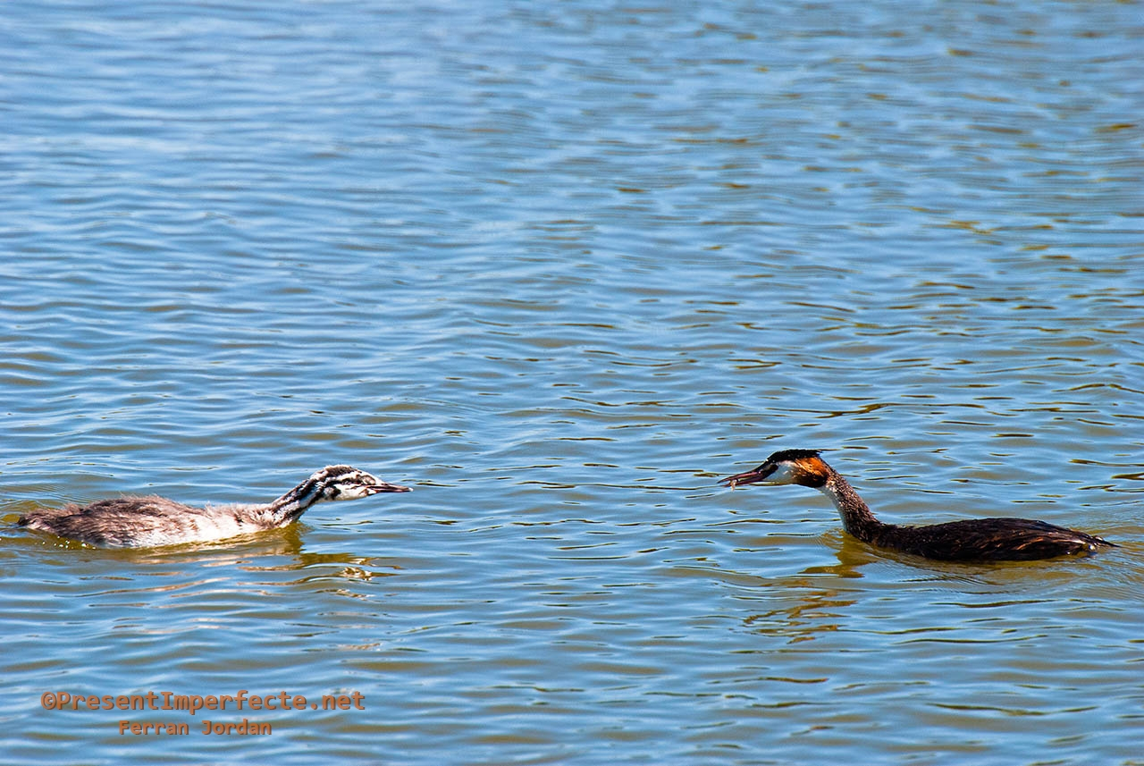 Great crested grebe and son (I)