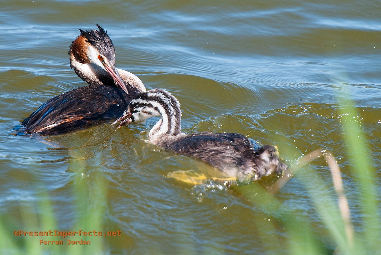 Great crested grebe and son (II)