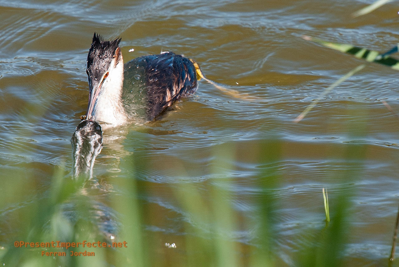 Great crested grebe and son (III)